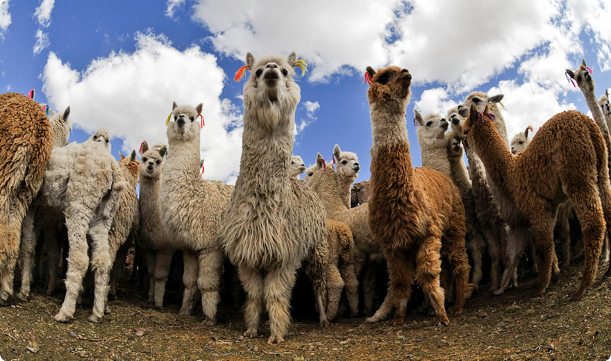 Alpacas, Colca Valley