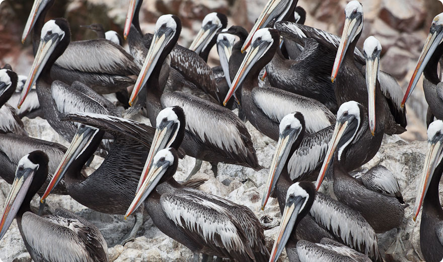 Pelicans on Ballestas Islands, Paracas